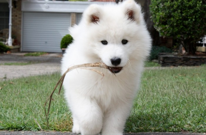 8589130464839-samoyed-puppy-wallpaper-hd