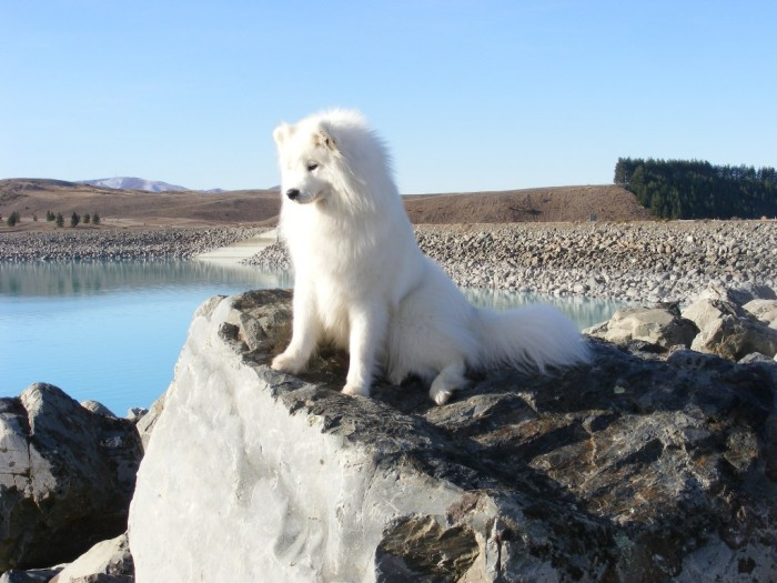 NZ_Samoyed