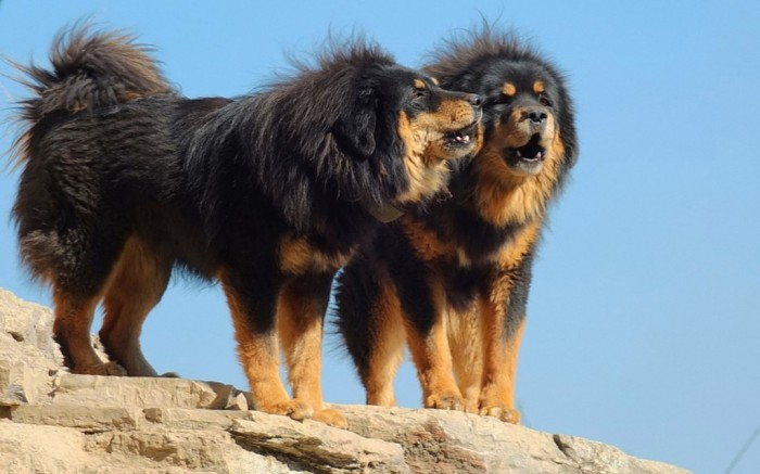 The Tibetan mastiff HD Wallpaper Atlas 10
