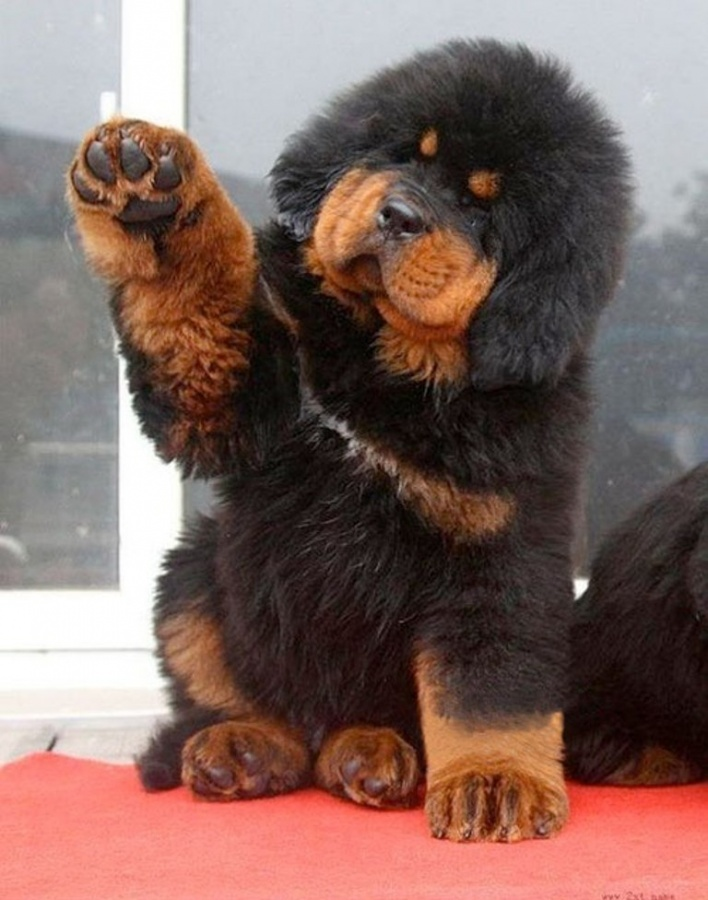 Tibetan-Mastiff-Puppies