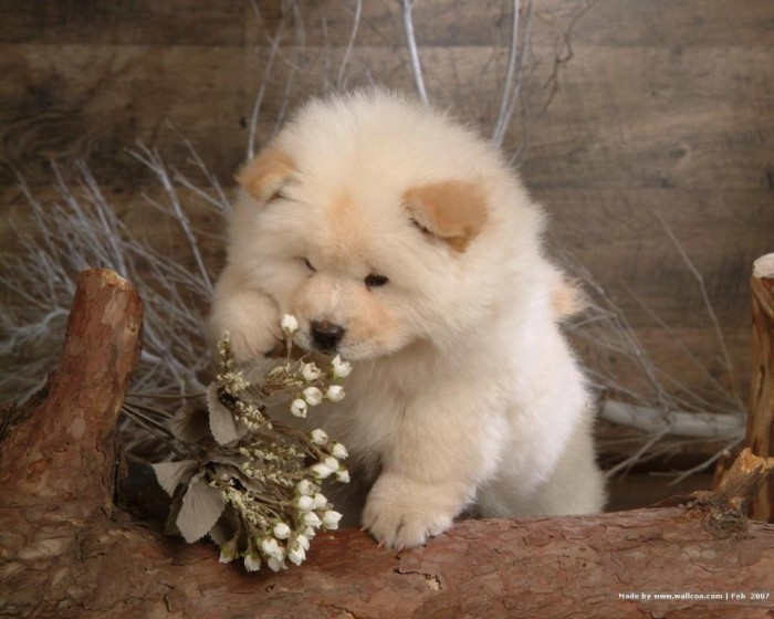chow-chow-puppy-wallpapers