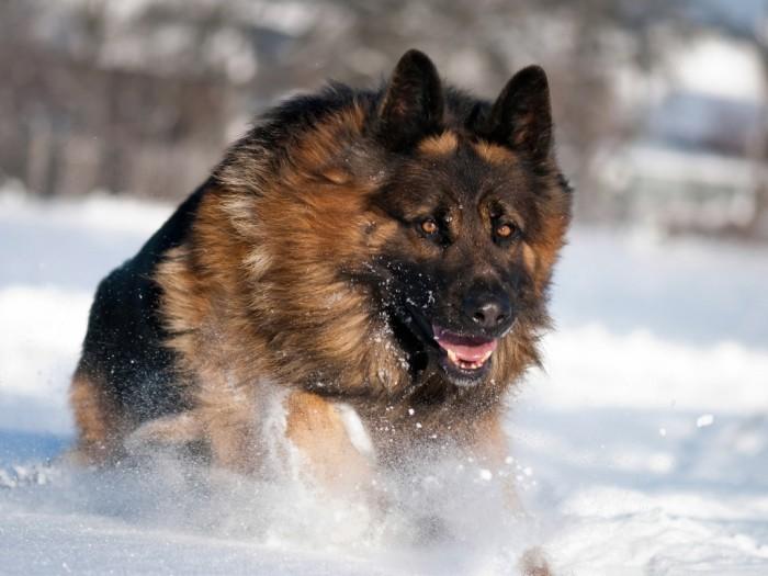 german_shepherd_running_in_snow-wallpaper-1024x768