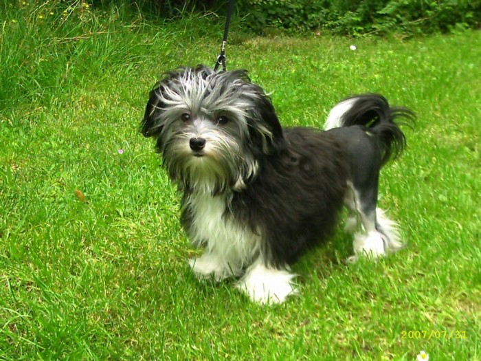 löwchen-dog-on-the-grass-photo