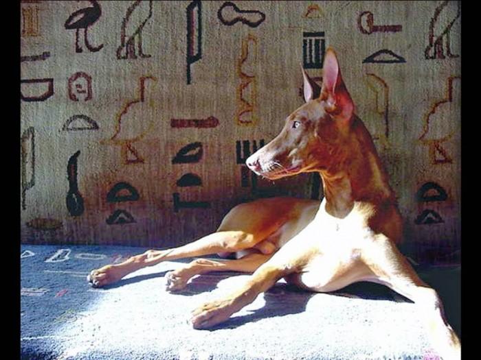 pharaoh_hound