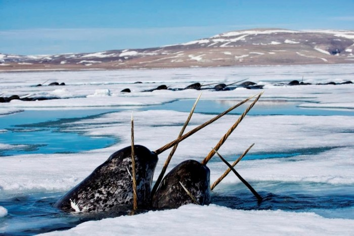 1-narwhals-come-up-in-seal-holes-paul-nicklen