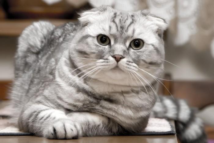 Animals___Cats__Beautiful_silver_Scottish_Fold_cat_045178_