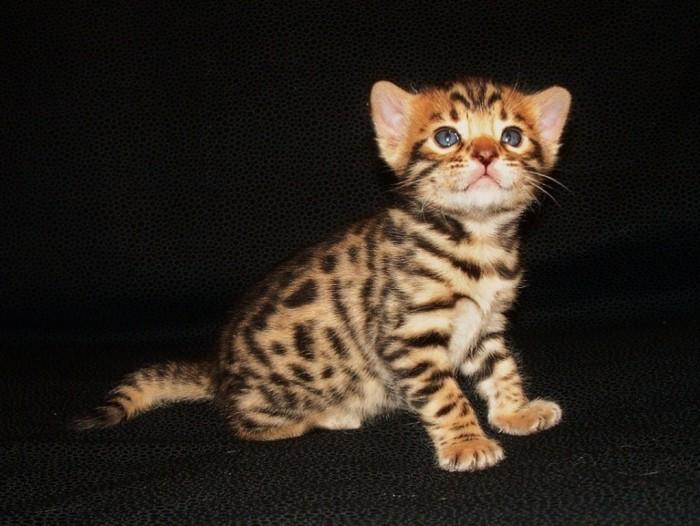Bengal cat - Kitten-4-1024x770