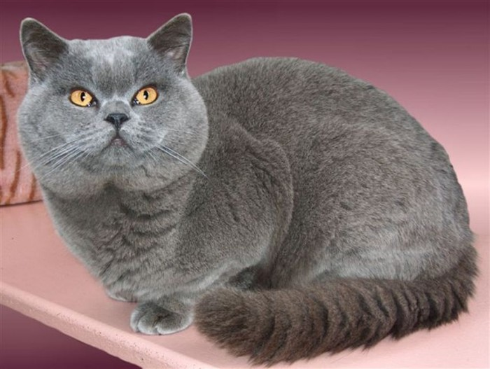 British Shorthair .