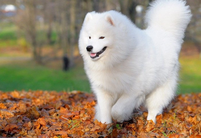 Free Samoyed Puppies Wallpaper