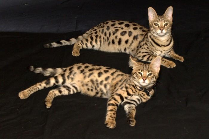 Funny-Baby-Savannah-Cats-HD-Wallpaper