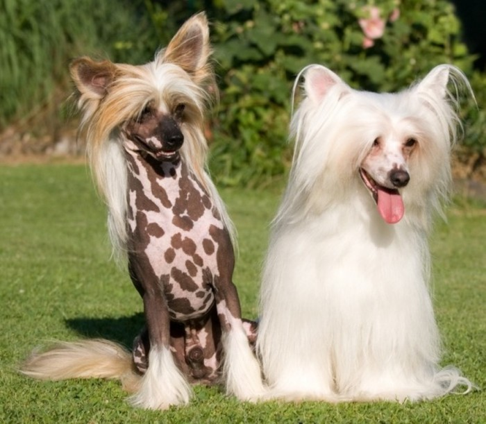 Hairless-and-powderpuff-Chinese-Crested