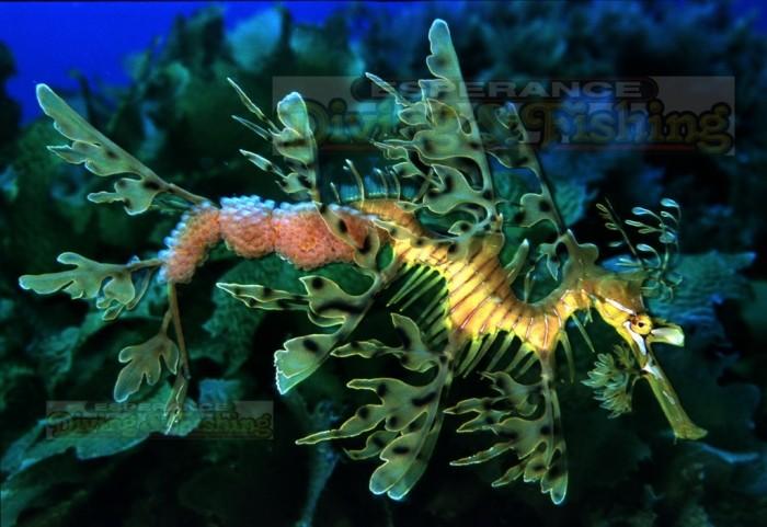 Leafy-Sea-Dragon-eggs
