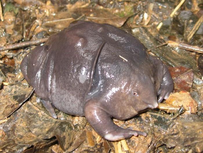 Purple Frog Nasikabatrachus_sahyadrensis