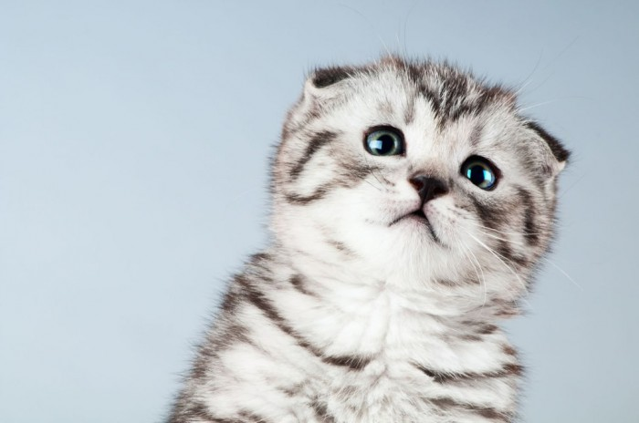Scottish-Fold-Kitten-2