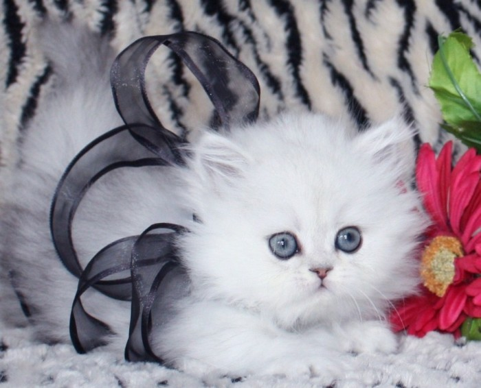 Shaded-silver-teacup-persian-kitten-with-bow