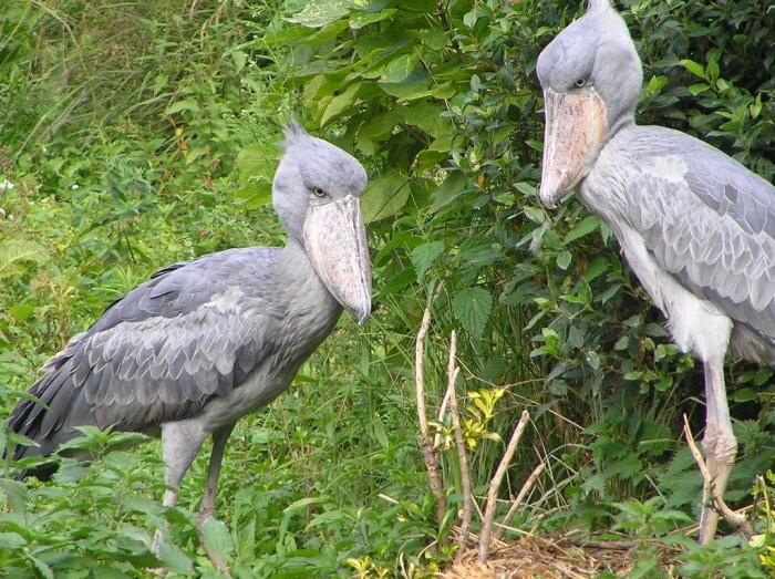 Shoebill_couple2