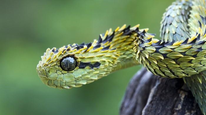 Spiny-Bush-Viper-Atheris-Hispida-Viper