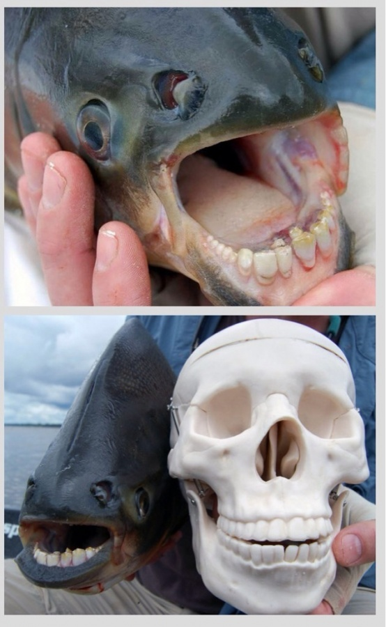 The Pacu Fish