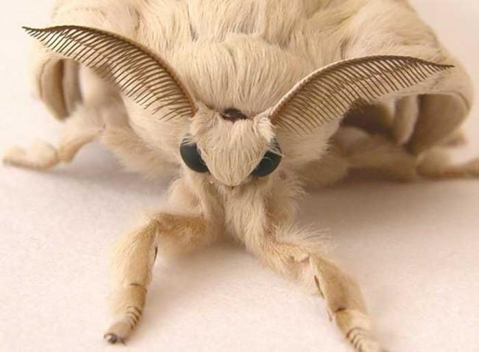 Venezuelan-Poodle-Moth-2