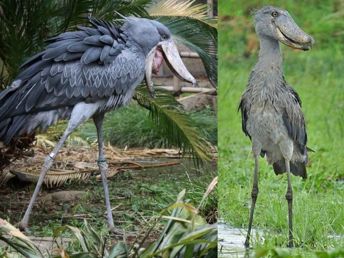 a-tale-of-two-shoebills
