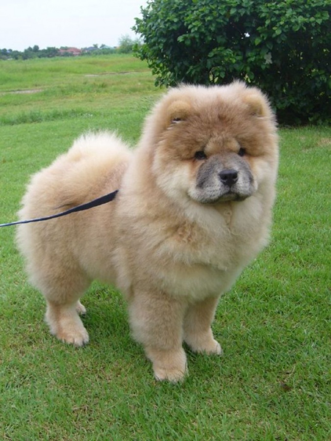 Dog Breed That Looks Like a Lion it Looks Like Lions With Its