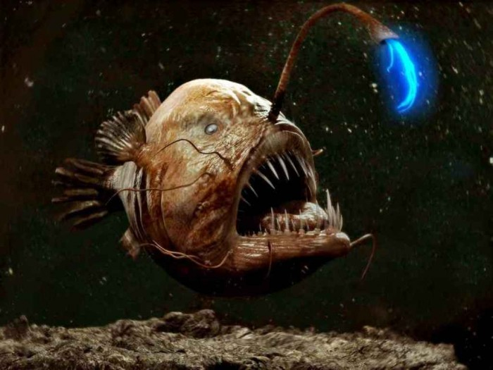 drawing_of_Anglerfish_Lophiodes_reticulatus