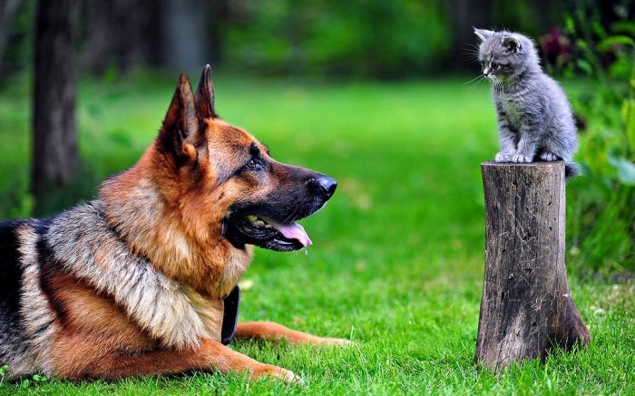 german-shepherd-and-kitten