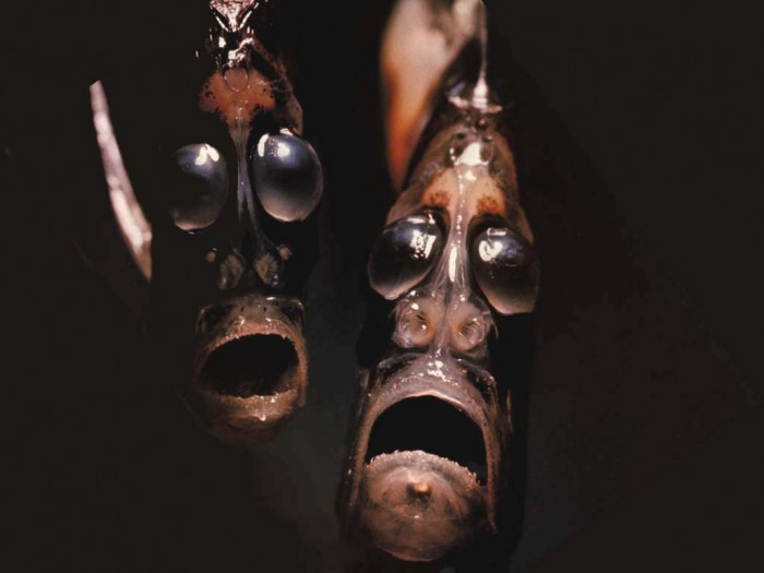 hatchetfish2