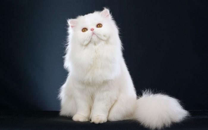 hd-wallpapers-persian-cat-cool-desktop-backgrounds-widescreen