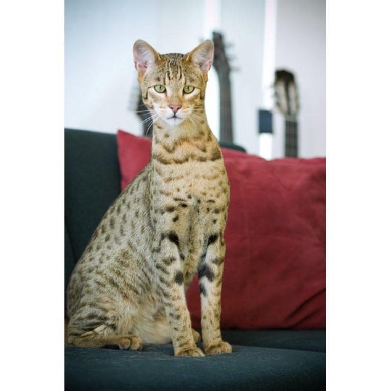 hypoallergenic-cat_1990429i