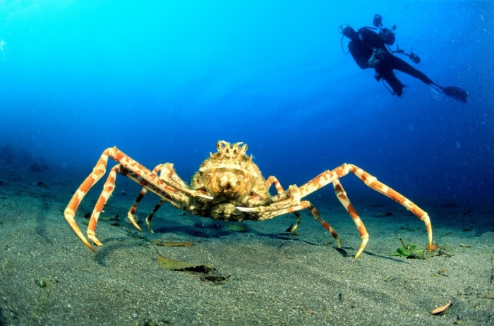 japanese spidercrab