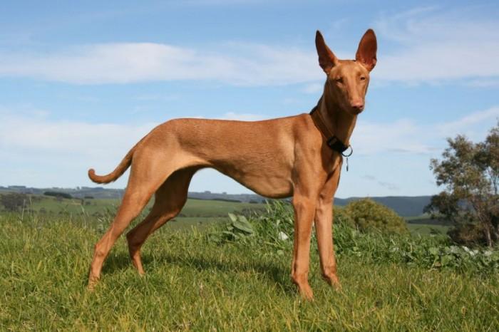 pharaoh-hound-14