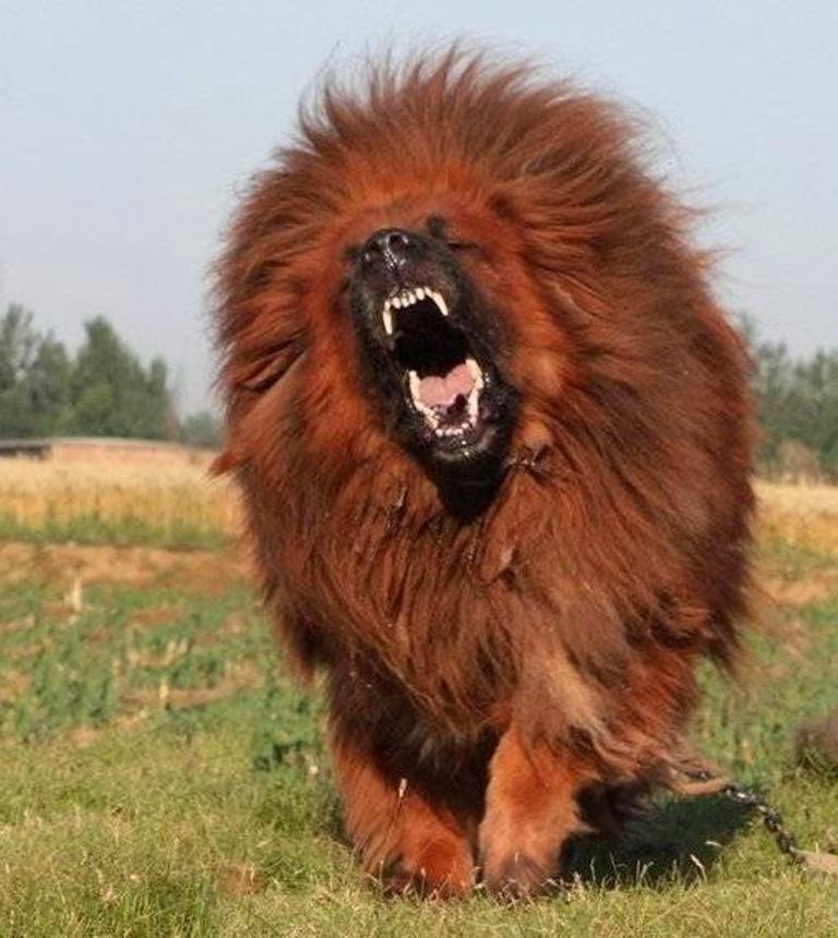 red_tibetan_mastiff_201123201611343778027