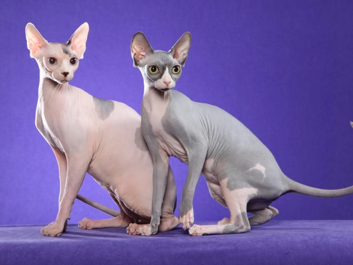 sphynx-cat-wallpaper