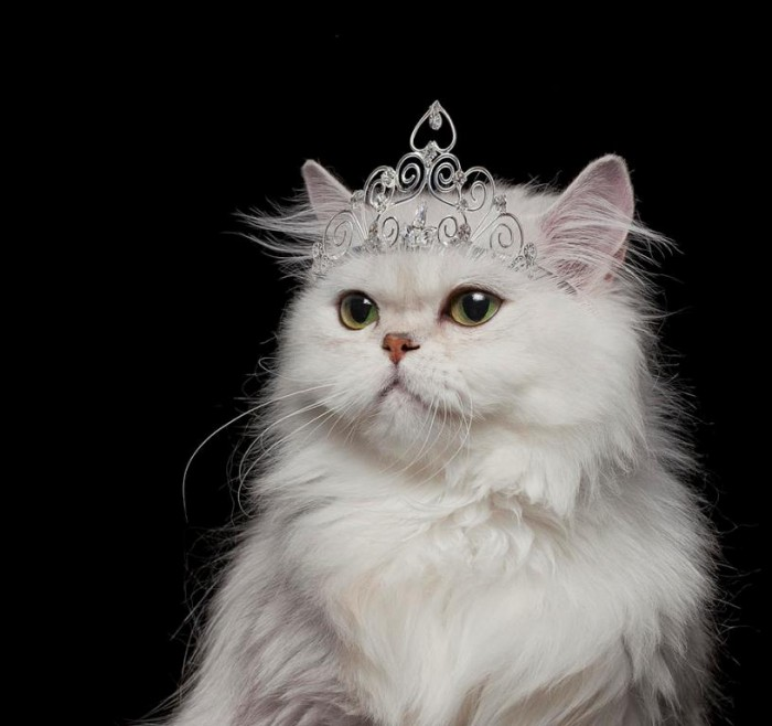 white-persian-cat-wearing-tiara-gk-hartvikki-hart