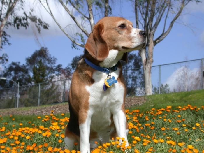 Beagle-1-1024x768