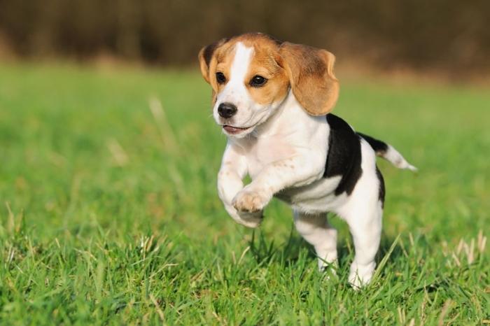 Beagle-3.jpg-0