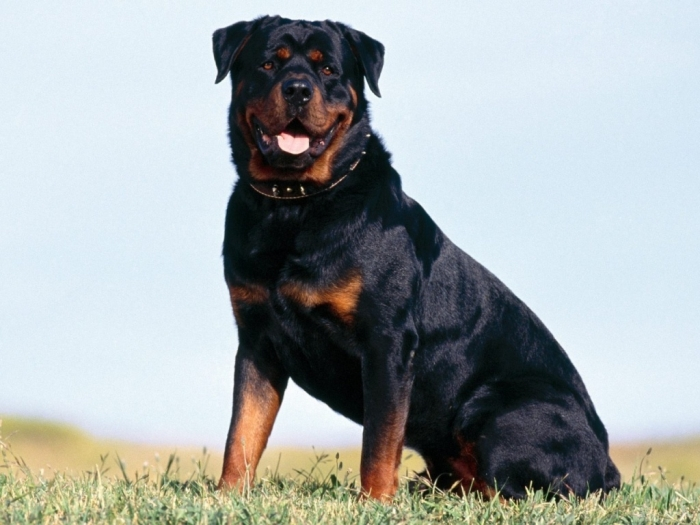 Beautiful-Rottweiler-rottweiler-13379022-1280-9601