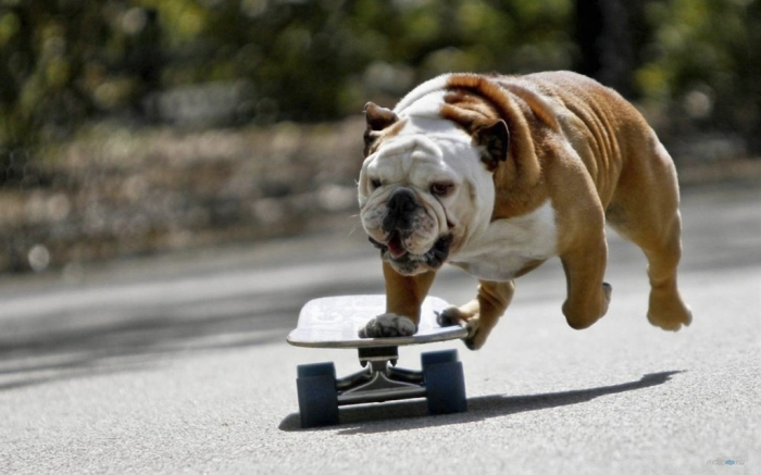 Bulldog-English-Bulldog-Animal-Picture-08-1024x640