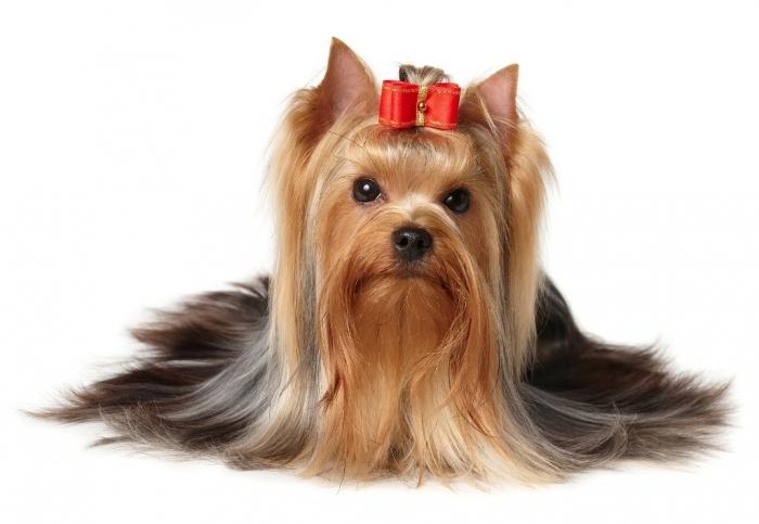 Yorkshire-Terrier6