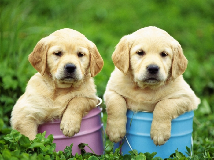 labrador-retriever-puppies-1