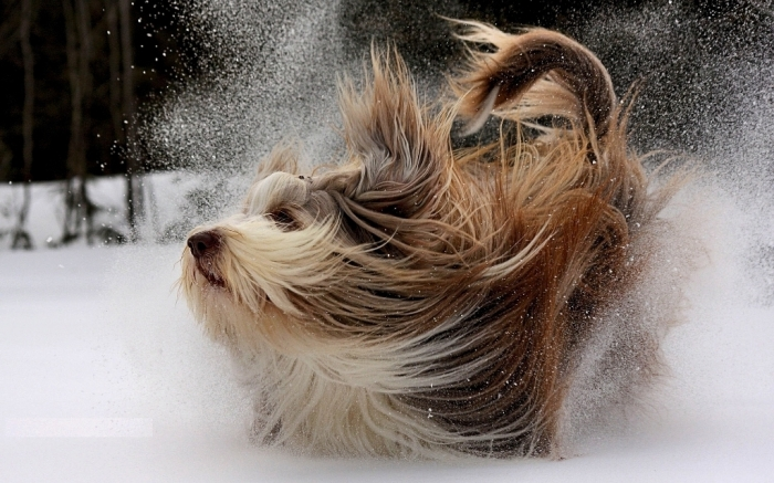 yorkshire-terrier-dog-pictures