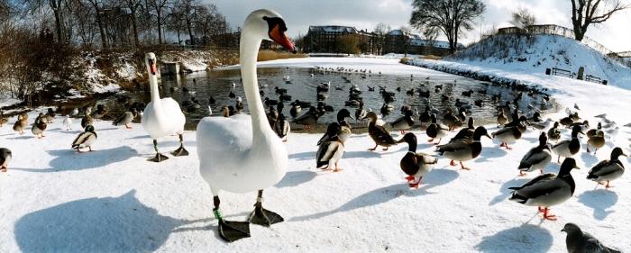 Copenhagen  birds-winter-copenhagen-denmark-112101266
