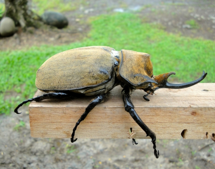 Rhinoceros Beetles