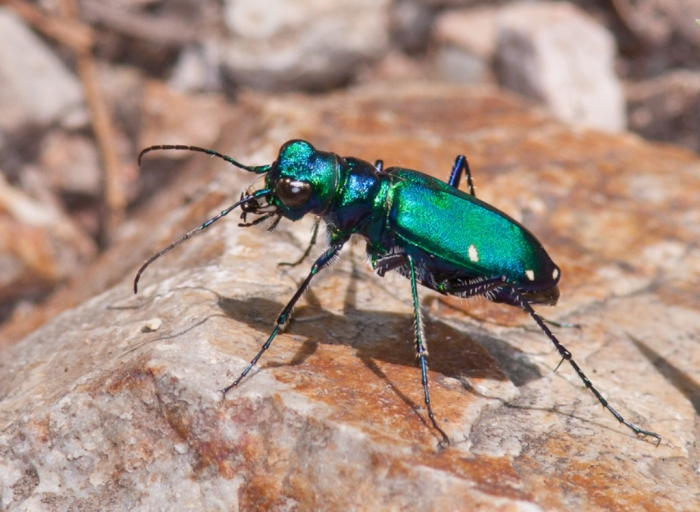 Six-spotted-Tiger-Beetle
