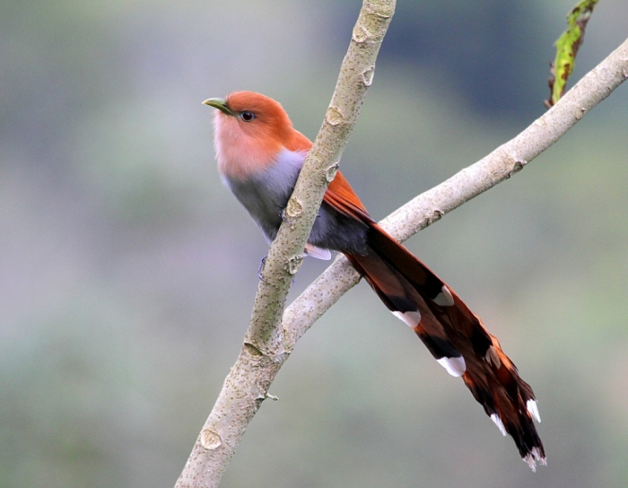 Squirrel-Cuckoo-in-Costa-Rica