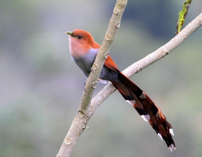 Squirrel-Cuckoo-in-Costa-Rica