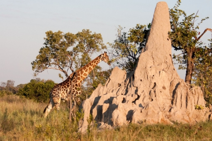 a-giraffe-walks-behand-a-termite-mound-in-the-bushland-of-the-okavango-delta-in-botswana-1600x1066