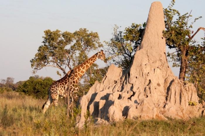 a-giraffe-walks-behand-a-termite-mound-in-the-bushland-of-the-okavango-delta-in-botswana-1600x1066