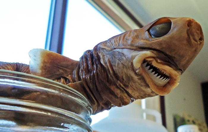 cookie-cutter-shark